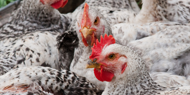 Agriculture Investment Opportunities in Ghana: Broiler Chickens Farm
