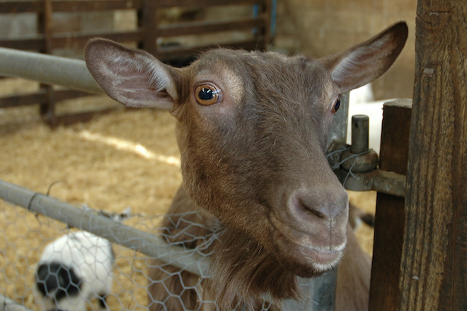 Investor is needed for setting-up scientific goat farm in the Avadh region of India.