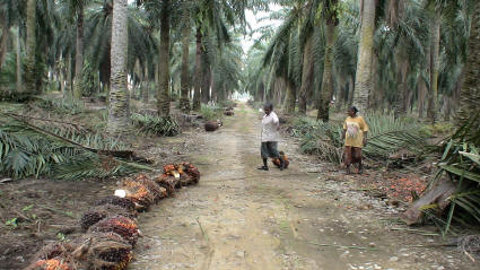 Workers on a palm-oil field